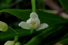 Cephalantera-longifolia